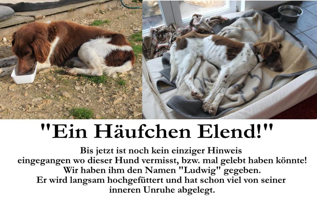 Bis jetzt ist noch kein einziger Hinweis eingegangen wo dieser Hund vermisst wird bzw. mal gelebt haben könnte. Wir haben ihm den Namen Ludwig gegeben. Er wird langsam hochgefüttert und hat schon viel von seiner inneren Unruhe abgelegt.