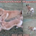 Chippi und Anton beim freien Laufen und Rennen